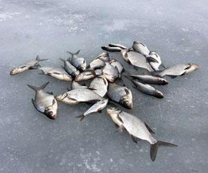 Зимняя ловля плотвы и подлещика
